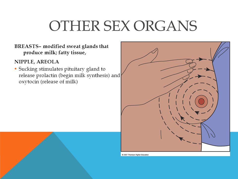 BREASTS– modified sweat glands that produce milk; fatty tissue, NIPPLE, AREOLA  Sucking stimulates pituitary gland to release prolactin (begin milk s
