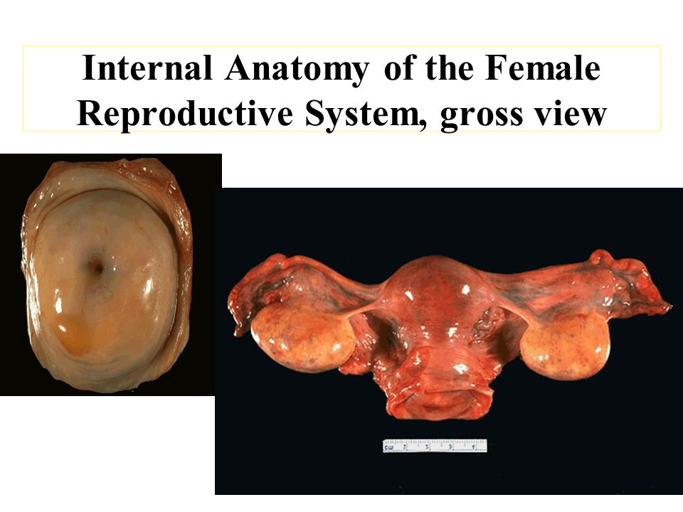 Bio 242 Ap Unit 4 Lecture 4 Anatomy Of The Female Reproductive