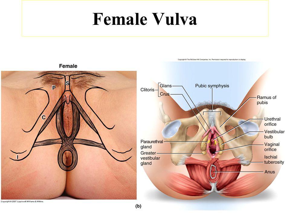 Bio 242 Ap Unit 4 Lecture 4 Anatomy Of The Female Reproductive