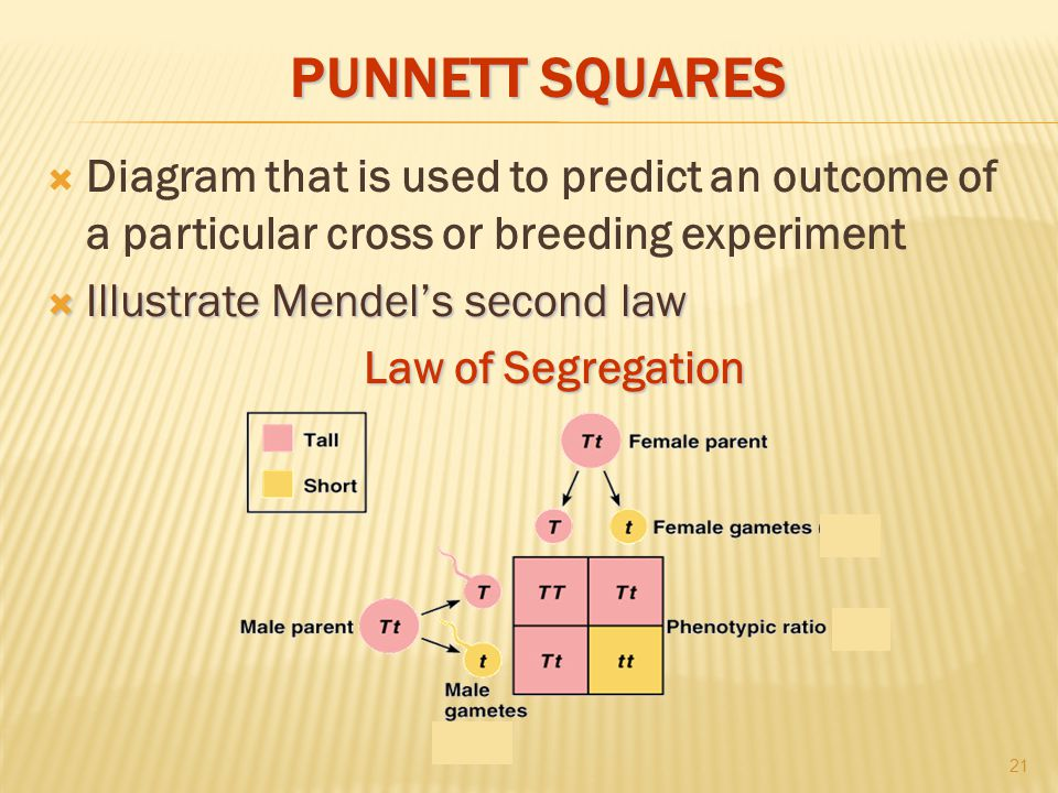 PUNNETT SQUARES  Diagram that is used to predict an outcome of a particular cross or breeding experiment  Illustrate Mendel's second law Law of Segregation 21