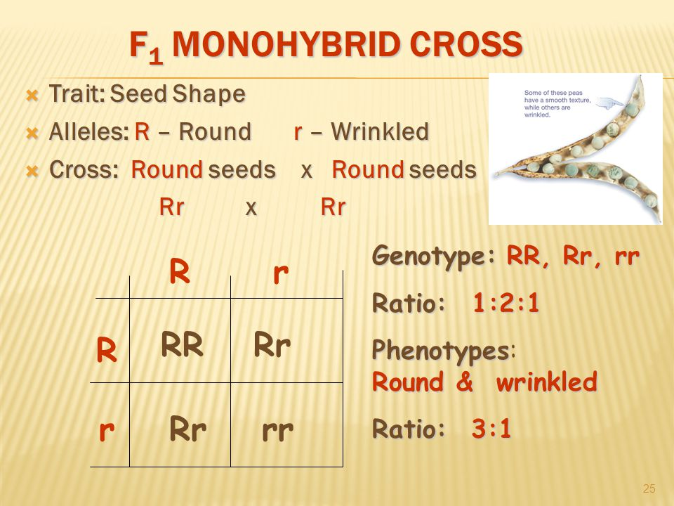 F 1 MONOHYBRID CROSS  Trait: Seed Shape  Alleles: R – Roundr – Wrinkled  Cross: Round seeds x Round seeds Rr x Rr 25 R r rR RR rrRr Genotype:RR, Rr, rr Genotype: RR, Rr, rr Ratio:1:2:1 Ratio: 1:2:1 Phenotypes Phenotypes: Round & wrinkled Ratio: 3:1