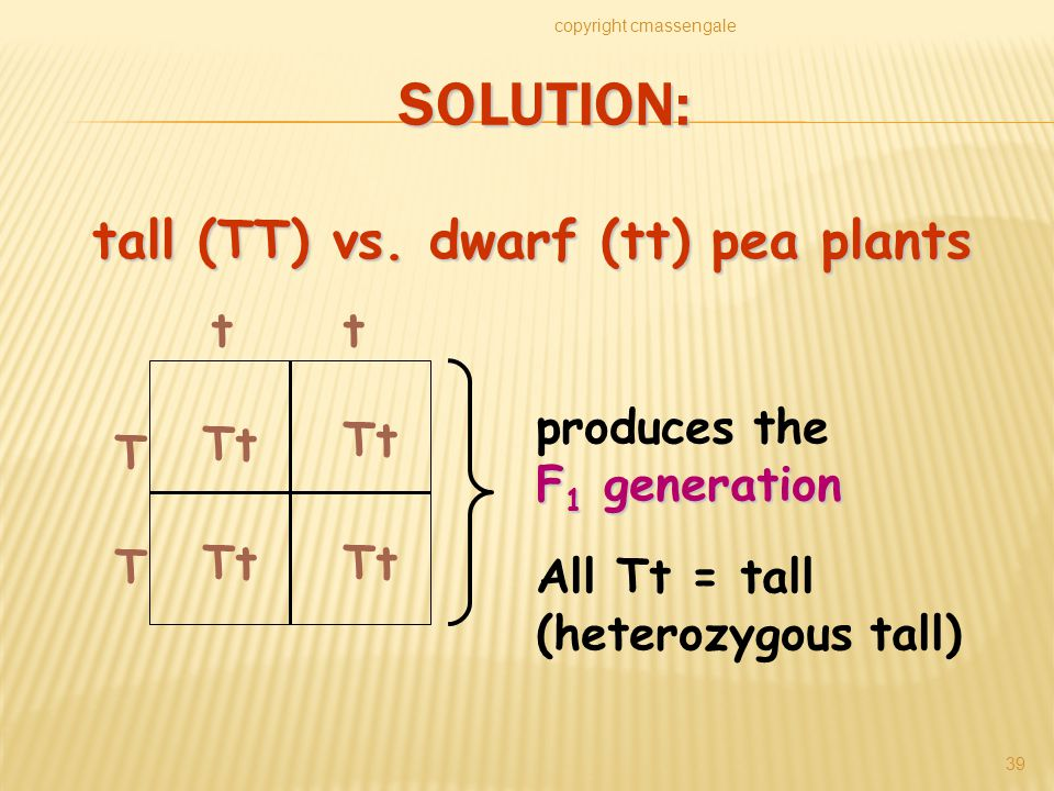 SOLUTION: copyright cmassengale 39 T T tt Tt All Tt = tall (heterozygous tall) produces the F 1 generation tall (TT) vs.