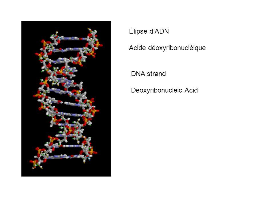Élipse dADN Acide déoxyribonucléique DNA strand Deoxyribonucleic Acid