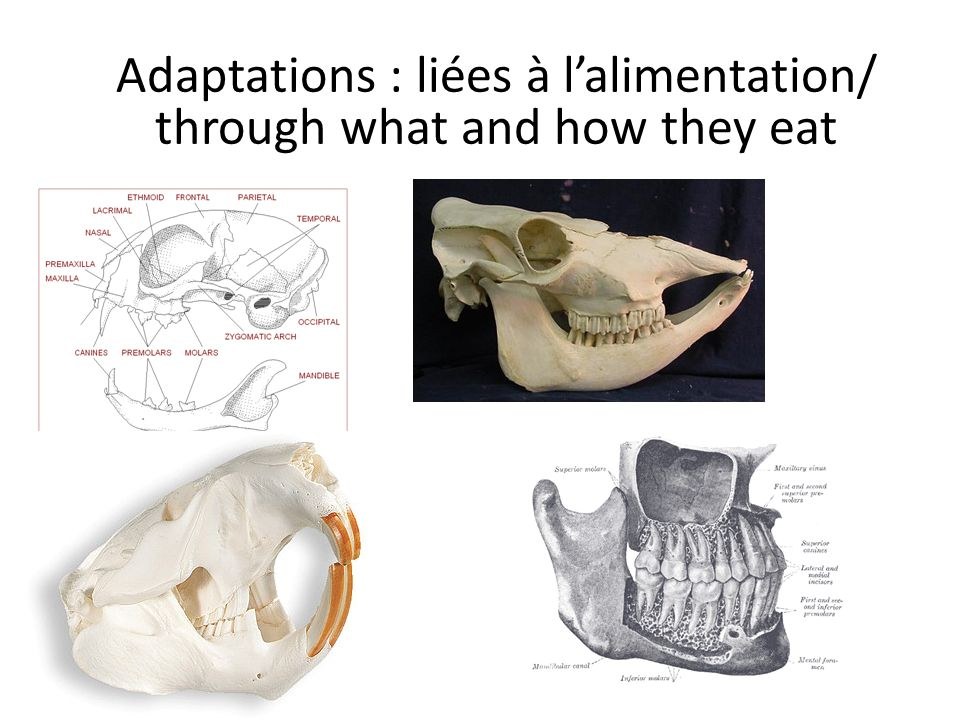 Adaptations : liées à lalimentation/ through what and how they eat