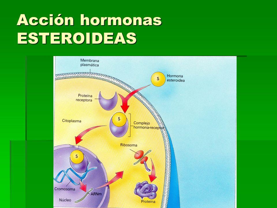 Acción hormonas ESTEROIDEAS