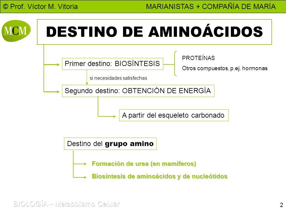 © Prof. Víctor M. Vitoria MARIANISTAS + COMPAÑÍA DE MARÍA 2 DESTINO DE AMINOÁCIDOS Primer destino: BIOSÍNTESIS PROTEÍNAS Otros compuestos, p.ej. hormo