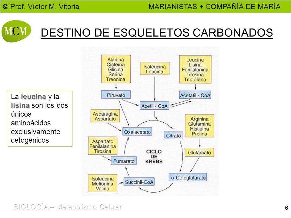 © Prof. Víctor M. Vitoria MARIANISTAS + COMPAÑÍA DE MARÍA 6 DESTINO DE ESQUELETOS CARBONADOS leucina lisina La leucina y la lisina son los dos únicos