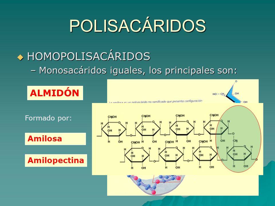 POLISACÁRIDOS HOMOPOLISACÁRIDOS –M–M–M–Monosacáridos iguales, los principales son: ALMIDÓN Formado por: Amilosa Amilopectina
