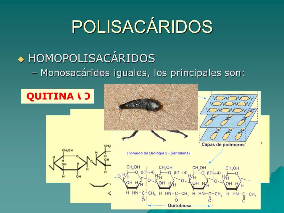 POLISACÁRIDOS HOMOPOLISACÁRIDOS HOMOPOLISACÁRIDOS –Monosacáridos iguales, los principales son: GLUCÓGENOCELULOSAQUITINA