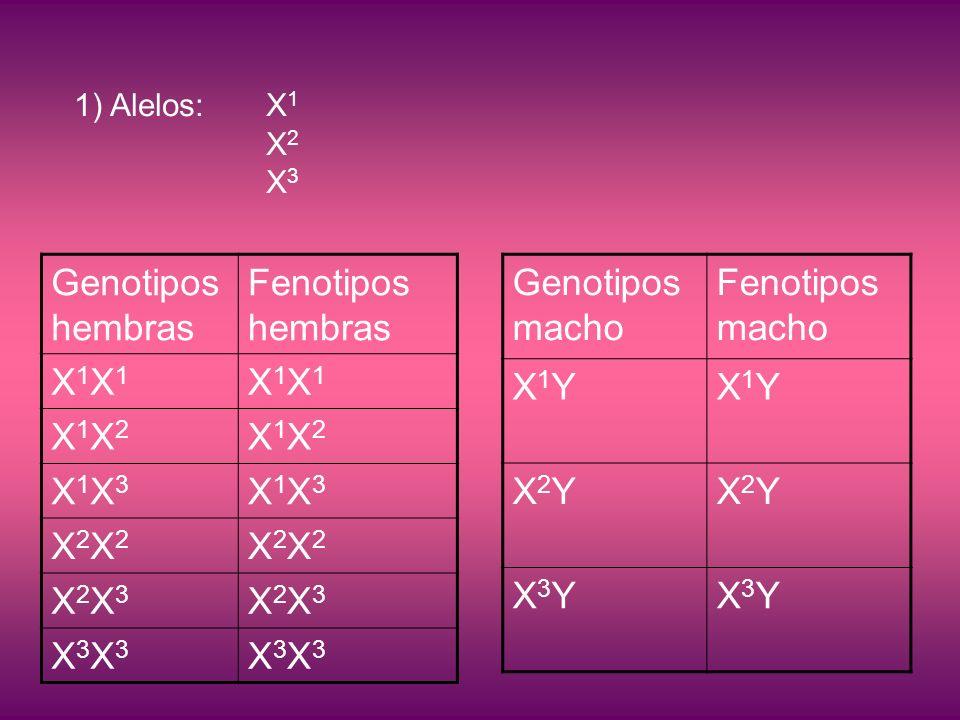 1)Alelos: X 1 X 2 X 3 Genotipos hembras Fenotipos hembras X1X1X1X1 X1X1X1X1 X1X2X1X2 X1X2X1X2 X1X3X1X3 X1X3X1X3 X2X2X2X2 X2X2X2X2 X2X3X2X3 X2X3X2X3 X3X3X3X3 X3X3X3X3 Genotipos macho Fenotipos macho X1YX1YX1YX1Y X2YX2YX2YX2Y X3YX3YX3YX3Y