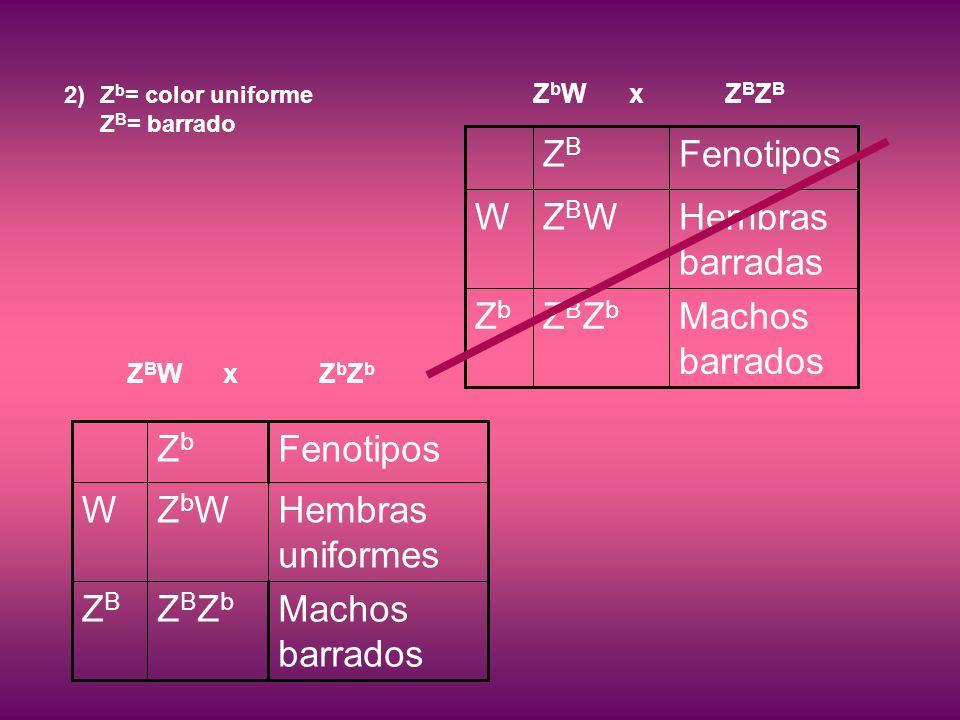 2)Z b = color uniforme Z B = barrado Z B W xZ b Z b ZBZbZBZb ZbWZbW ZbZb Machos barrados ZBZB Hembras uniformes W Fenotipos ZbWxZBZBZbWxZBZB ZBZbZBZb ZBWZBW ZBZB Machos barrados ZbZb Hembras barradas W Fenotipos