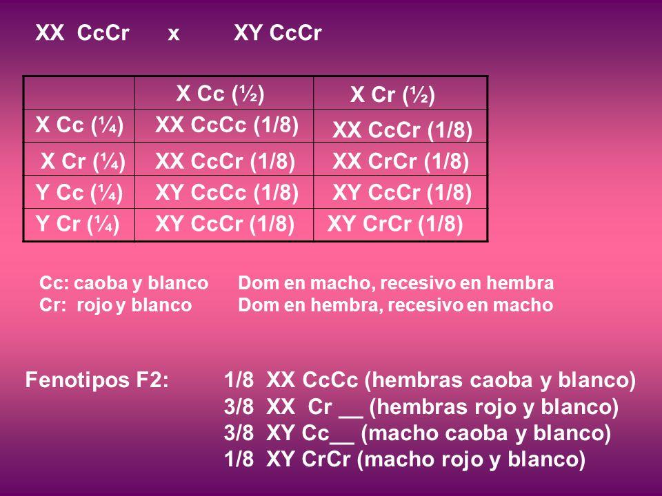 Fenotipos F2: 1/8 XX CcCc (hembras caoba y blanco) 3/8 XX Cr __ (hembras rojo y blanco) 3/8 XY Cc__ (macho caoba y blanco) 1/8 XY CrCr (macho rojo y blanco) XX CcCrxXY CcCr Cc: caoba y blanco Dom en macho, recesivo en hembra Cr: rojo y blancoDom en hembra, recesivo en macho X Cc (¼) X Cr (¼) Y Cc (¼) Y Cr (¼) X Cc (½) X Cr (½) XX CcCc (1/8) XX CcCr (1/8) XY CcCc (1/8) XY CcCr (1/8) XX CcCr (1/8) XX CrCr (1/8) XY CcCr (1/8) XY CrCr (1/8)