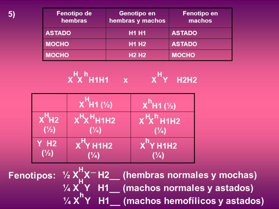 5) Fenotipo de hembras Genotipo en hembras y machos Fenotipo en machos ASTADOH1 ASTADO MOCHOH1 H2ASTADO MOCHOH2 MOCHO Y H2 (½) X X H1H1xX Y H2H2 H h H X Y H1H2 (¼) H X H2 (½) H X H1 (½) H X X H1H2 (¼) H H X X H1H2 (¼) H h X H1 (½) h X Y H1H2 (¼) h Fenotipos: h ¼ X Y H1__ (machos hemofílicos y astados) H ¼ X Y H1__ (machos normales y astados) ½ X X H2__ (hembras normales y mochas) H _