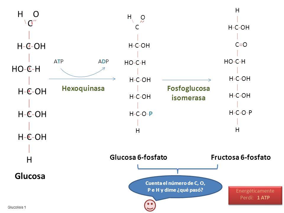 C˝ | H-C-OH | HO-C-H | H-C-OH | H-C-OH | H-C-OH | H \ HO Glucosa ATPATPADPADP Hexoquinasa C ˝ | H-C-OH | HO-C-H | H-C-OH | H-C-OH | H-C-O ~ P | H \ H