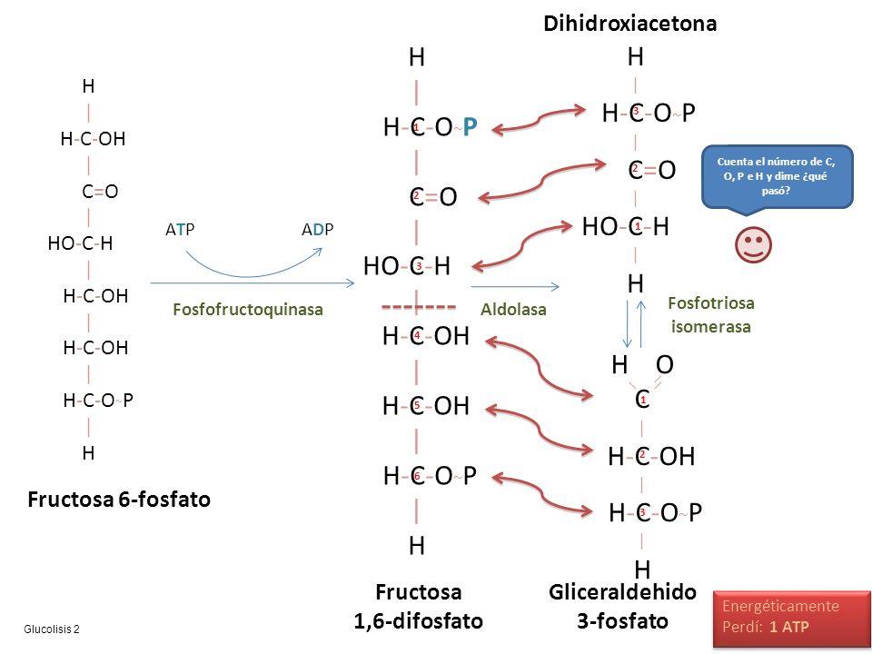 H | H-C-OH | C=O | HO-C-H | H-C-OH | H-C-OH | H-C-O ~ P | H Fructosa 6-fosfato ATPATPADPADP Fosfofructoquinasa H | H-C-O ~ P | C=O | HO-C-H | H-C-OH |