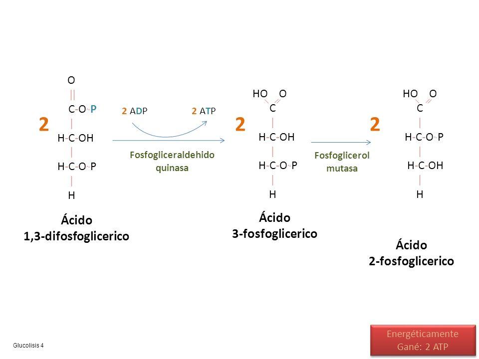 O || C-O ~ P | H-C-OH | H-C-O ~ P | H 2 Ácido 1,3-difosfoglicerico HO O C | H-C-OH | H-C-O ~ P | H Ácido 3-fosfoglicerico 2 ADP2 ATP Fosfogliceraldehi