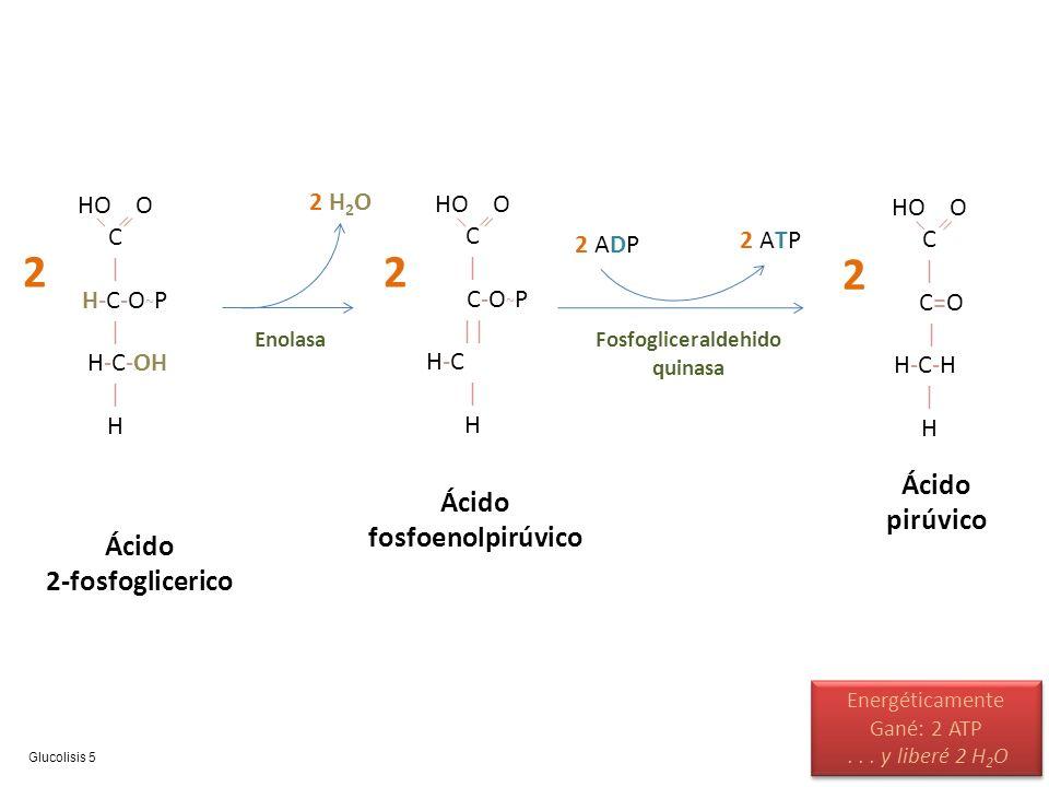 HO O C | H-C-O ~ P | H-C-OH | H Ácido 2-fosfoglicerico 2 HO O C | C-O ~ P || H-C | H Ácido fosfoenolpirúvico 2 Enolasa 2 H2O2 H2O HO O C | C=O | H-C-H