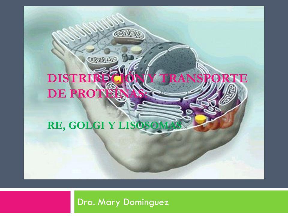 DISTRIBUCIÓN Y TRANSPORTE DE PROTEÍNAS: RE, GOLGI Y LISOSOMAS Dra. Mary Dominguez