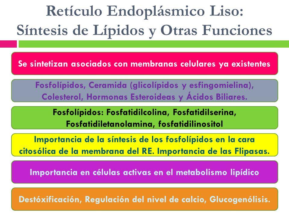 Retículo Endoplásmico Liso: Síntesis de Lípidos y Otras Funciones Se sintetizan asociados con membranas celulares ya existentes Fosfolípidos, Ceramida