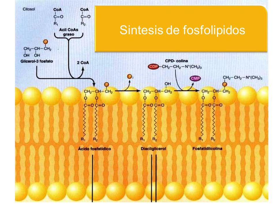 Sintesis de fosfolipidos