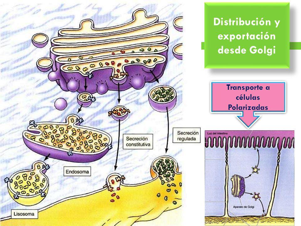 Distribución y exportación desde Golgi Transporte a células Polarizadas