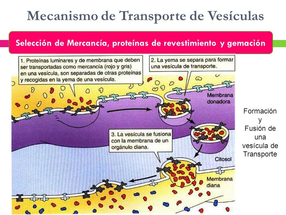 Mecanismo de Transporte de Vesículas Selección de Mercancía, proteínas de revestimiento y gemación Formación y Fusión de una vesícula de Transporte