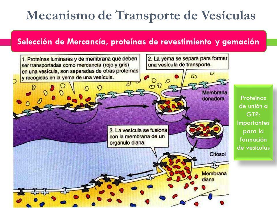 Mecanismo de Transporte de Vesículas Selección de Mercancía, proteínas de revestimiento y gemación Proteínas de unión a GTP: Importantes para la forma
