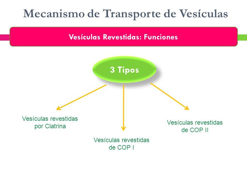 Mecanismo de Transporte de Vesículas Vesículas Revestidas: Funciones Vesículas revestidas por Clatrina 3 Tipos Vesículas revestidas de COP I Vesículas
