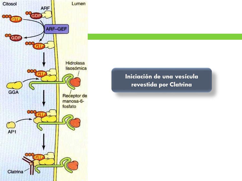 Iniciación de una vesícula revestida por Clatrina