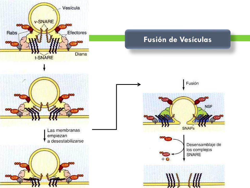 Fusión de Vesículas