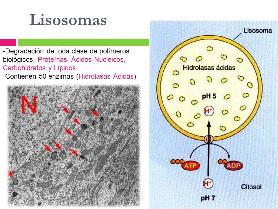 Lisosomas -Degradación de toda clase de polímeros biológicos: Proteínas, Ácidos Nucleicos, Carbohidratos y Lípidos. -Contienen 50 enzimas (Hidrolasas