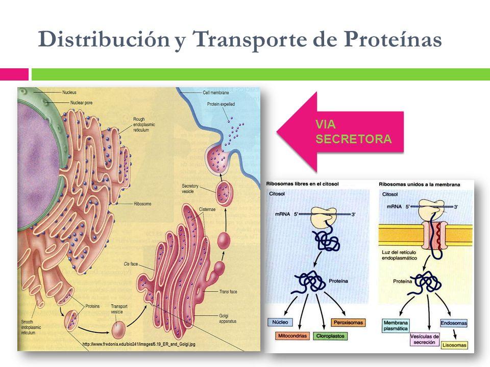 Distribución y Transporte de Proteínas VIA SECRETORA