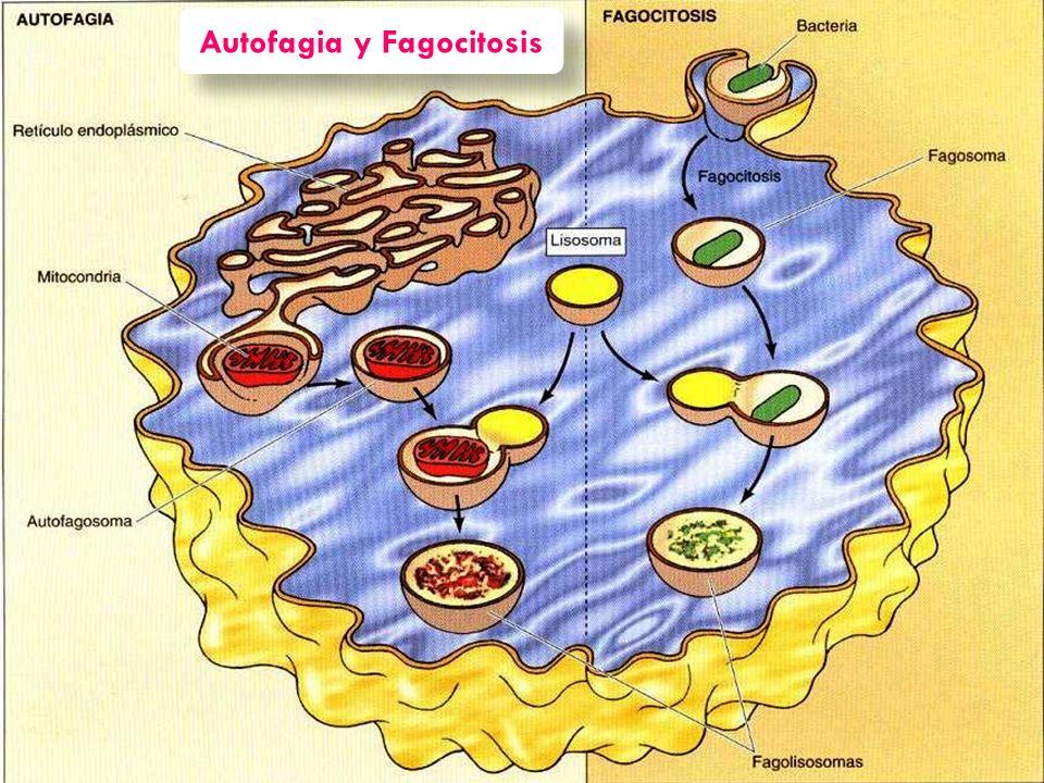 Autofagia y Fagocitosis