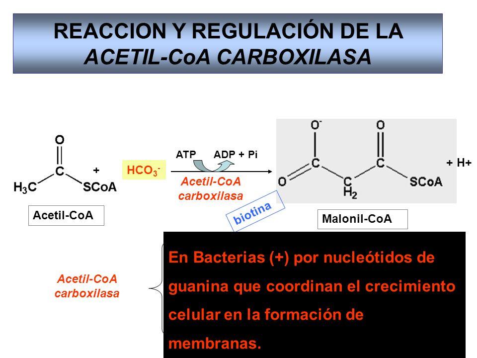REACCION Y REGULACIÓN DE LA ACETIL-CoA CARBOXILASA Acetil-CoA Acetil-CoA carboxilasa HCO 3 - Malonil-CoA ATP ADP + Pi + + H+ Acetil-CoA carboxilasa bi