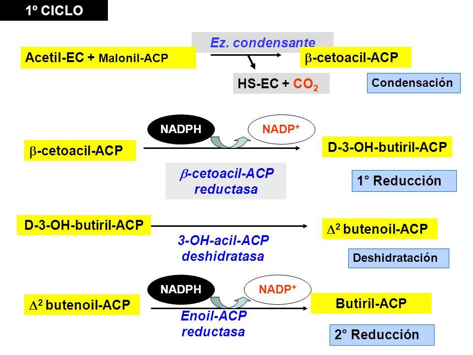 1° Reducción -cetoacil-ACP reductasa D-3-OH-butiril-ACP Condensación Ez. condensante -cetoacil-ACP D-3-OH-butiril-ACP 3-OH-acil-ACP deshidratasa 2 but