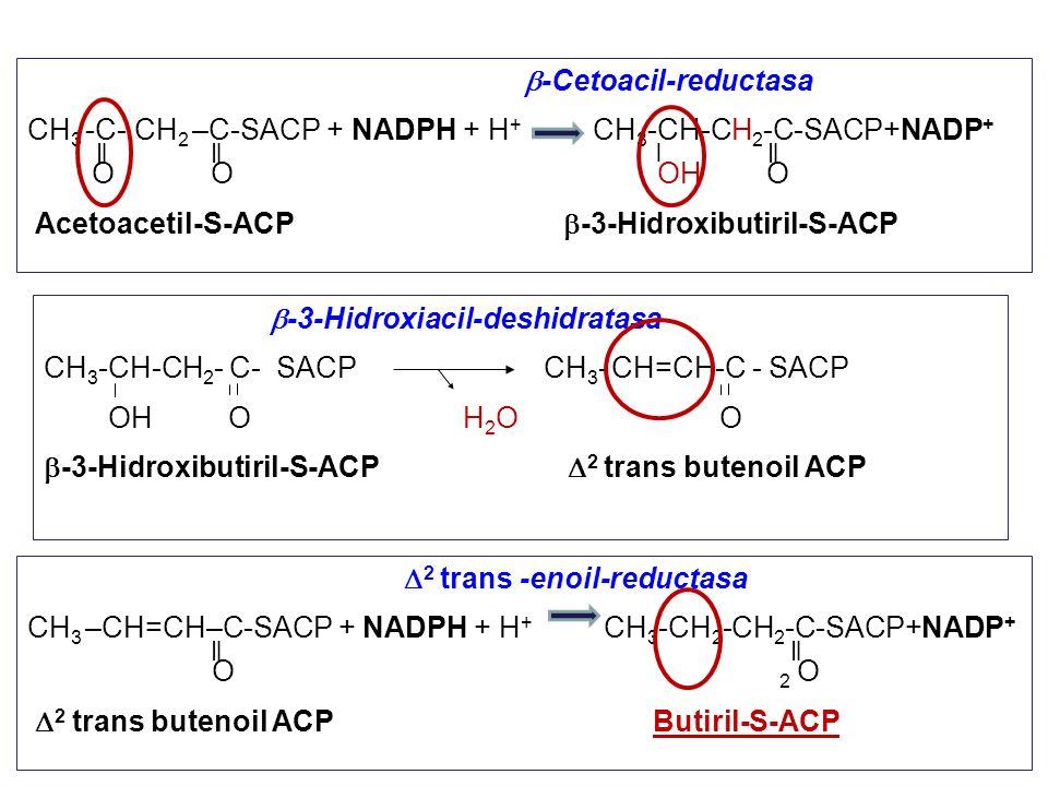 -Cetoacil-reductasa CH 3 -C- CH 2 –C-SACP + NADPH + H + CH 3 -CH-CH 2 -C-SACP+NADP + O O OH O Acetoacetil-S-ACP -3-Hidroxibutiril-S-ACP -3-Hidroxiacil
