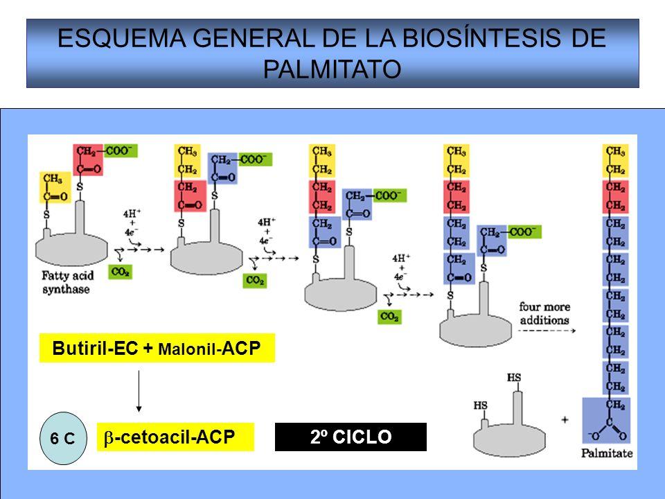 19 ESQUEMA GENERAL DE LA BIOSÍNTESIS DE PALMITATO Butiril-EC + Malonil- ACP -cetoacil-ACP 6 C 2º CICLO