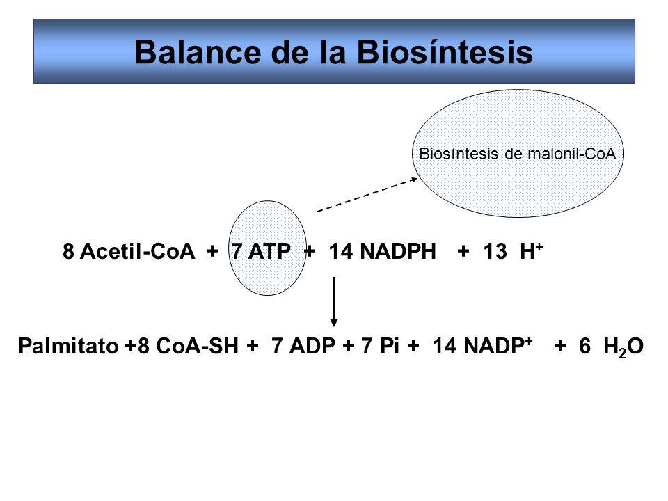 Balance de la Biosíntesis 8 Acetil-CoA + 7 ATP + 14 NADPH + 13 H + Palmitato +8 CoA-SH + 7 ADP + 7 Pi + 14 NADP + + 6 H 2 O Biosíntesis de malonil-CoA