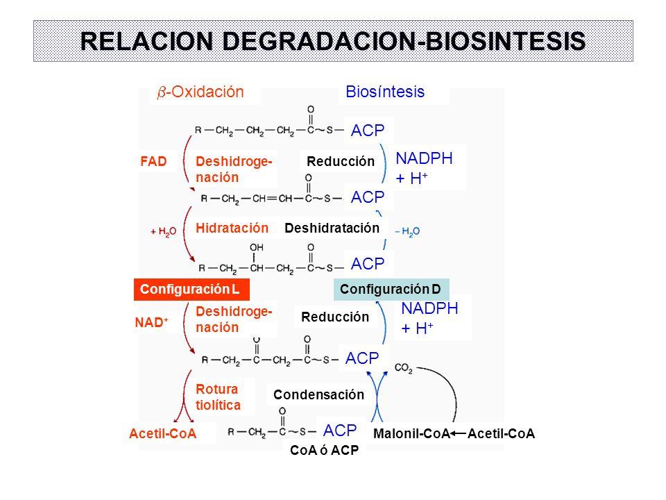 RELACION DEGRADACION-BIOSINTESIS -Oxidación Biosíntesis ACP NADPH + H + Reducción ACP Deshidratación Condensación Malonil-CoAAcetil-CoA Configuración
