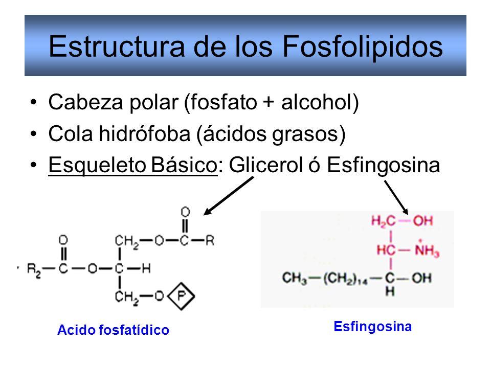 Estructura de los Fosfolipidos Cabeza polar (fosfato + alcohol) Cola hidrófoba (ácidos grasos) Esqueleto Básico: Glicerol ó Esfingosina Acido fosfatíd