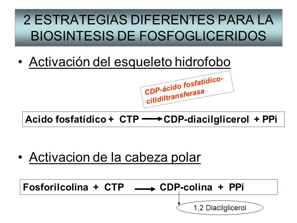 2 ESTRATEGIAS DIFERENTES PARA LA BIOSINTESIS DE FOSFOGLICERIDOS Activación del esqueleto hidrofobo Activacion de la cabeza polar Acido fosfatídico + C