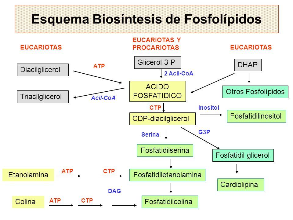 Esquema Biosíntesis de Fosfolípidos Diacilglicerol DHAP Triacilglicerol Glicerol-3-P Otros Fosfolípidos ACIDO FOSFATIDICO CDP-diacilglicerol Fosfatidi