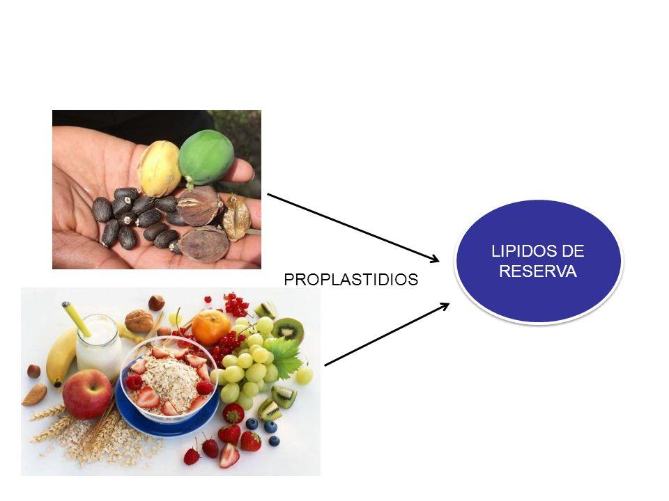CLOROPLASTOS Biosínteis lipidos membranas