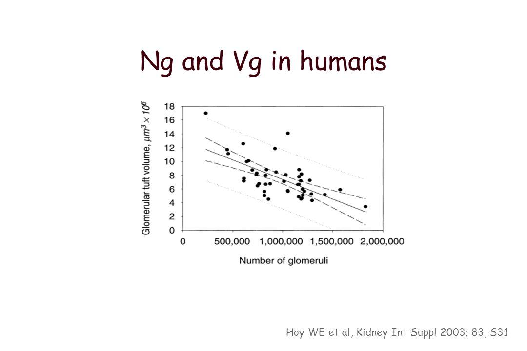 Glomerular number (Ng) Disector /fraccinator (n=56) 0.23-1.82 x 10 6 Hughson M et al Kidney Int 2003; 63: 2113