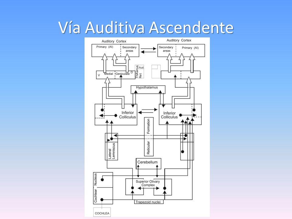 Auditory nerve compound action potentials HABITUATION Buño, Velluti, Handler, García-Austt, 1966