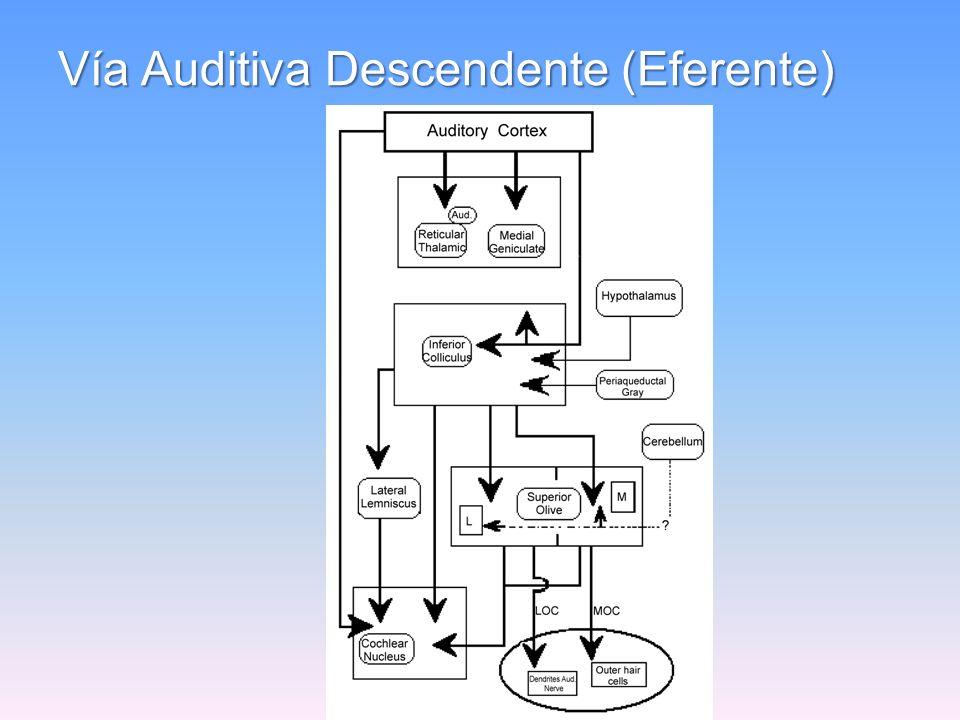 Vía Auditiva Ascendente