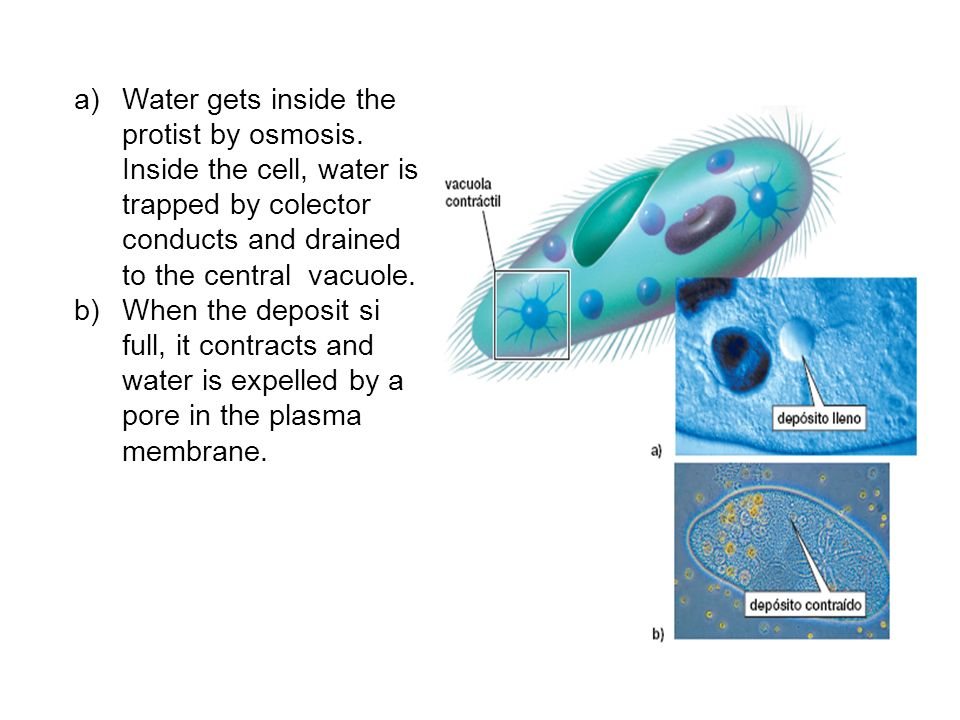 a)Water gets inside the protist by osmosis. Inside the cell, water is trapped by colector conducts and drained to the central vacuole. b)When the depo