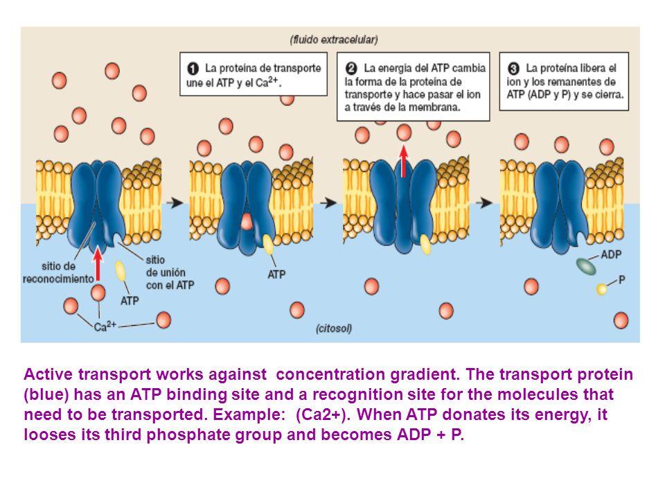 Active transport works against concentration gradient.