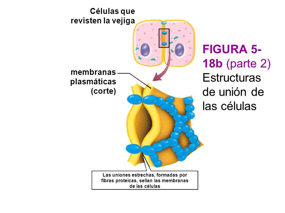 Células que revisten la vejiga membranas plasmáticas (corte) Las uniones estrechas, formadas por fibras proteicas, sellan las membranas de las células FIGURA 5- 18b (parte 2) Estructuras de unión de las células