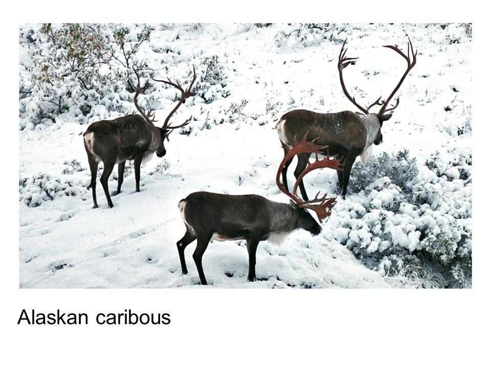 Alaskan caribous